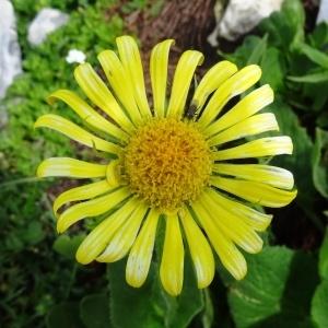 Doronicum grandiflorum Lam. (Doronic à grandes fleurs)