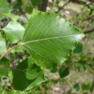 Photographie n°196318 du taxon Populus nigra L.