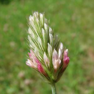 - Trifolium incarnatum var. molinerii (Balb. ex Hornem.) Ser. [1815]