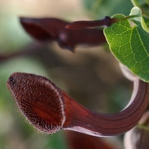 - Aristolochia baetica L. [1753]
