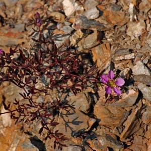 Photographie n°196468 du taxon Fagonia cretica L.