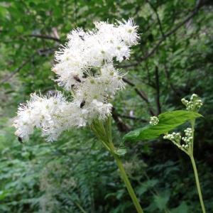 Filipendula ulmaria (L.) Maxim. var. ulmaria (Fausse Spirée)