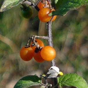 Solanum villosum Mill. (Morelle poilue)