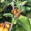Bertrand BUI - Solanum villosum Mill.