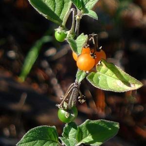 - Solanum villosum Mill.
