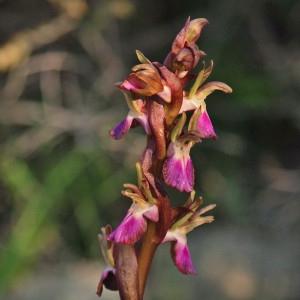 Anacamptis collina (Banks & Sol. ex Russell) R.M.Bateman, Pridgeon & M.W.Chase (Orchis des collines)