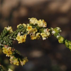 Thymelaea hirsuta (L.) Endl. (Passerine hérissée)