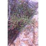 Limonium articulatum (Loisel.) Kuntze (Limonium articulé)