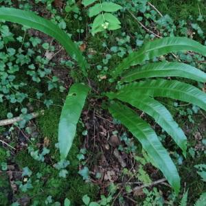 - Asplenium scolopendrium subsp. scolopendrium