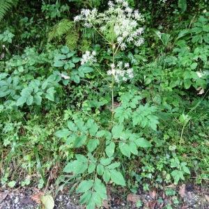 Photographie n°196626 du taxon Angelica sylvestris subsp. sylvestris
