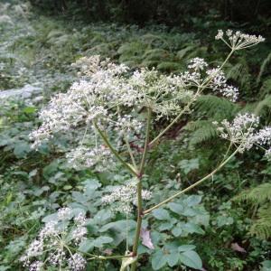 Photographie n°196628 du taxon Angelica sylvestris subsp. sylvestris