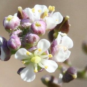 Lepidium graminifolium L. (Passerage à feuilles de graminée)