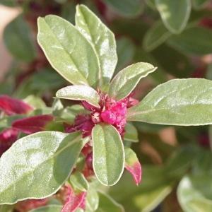 Amaranthus blitoides S.Watson (Amarante fausse blette)