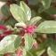 Marie  Portas - Amaranthus blitoides S.Watson [1877]