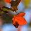 Acer monspessulanum L. [1753] [nn182] par mbenezech le 09/11/2013 - Juvignac