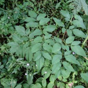 Photographie n°196773 du taxon Angelica sylvestris subsp. sylvestris