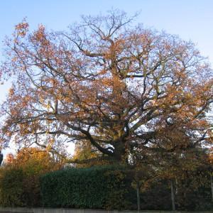 Photographie n°196895 du taxon Quercus L. [1753]