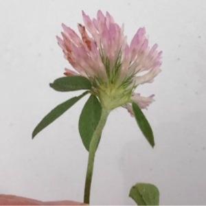 Photographie n°196959 du taxon Trifolium pratense L. [1753]