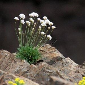 Armeria soleirolii (Duby) Godr. (Arméria de Soleirol)