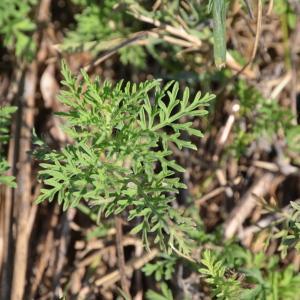 - Ambrosia tenuifolia Spreng. [1826]