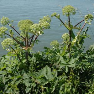 - Angelica archangelica subsp. archangelica