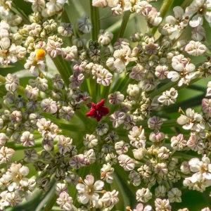 Daucus carota L. (Carotte)