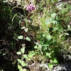 Photographie n°197194 du taxon Origanum vulgare subsp. vulgare