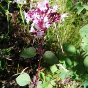 Photographie n°197197 du taxon Origanum vulgare subsp. vulgare