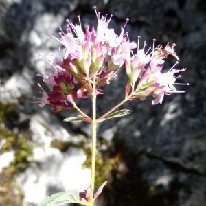Origanum vulgare L. subsp. vulgare (Marjolaine sauvage)
