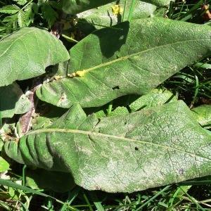 Photographie n°197225 du taxon Verbascum pulverulentum Vill.