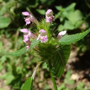 Photographie n°197230 du taxon Galeopsis tetrahit L.