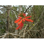 Erythrina corallodendron L.