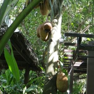Artocarpus heterophyllus Lam. (Jacquier)