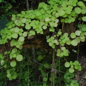 Pilea nummulariifolia (Sw.) Wedd. (Aaron's beard)