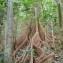 Marc Chouillou - Pterocarpus officinalis Jacq.