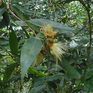 - Syzygium jambos (L.) Alston