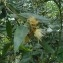 Marc Chouillou - Syzygium jambos (L.) Alston