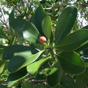 Canella winterana (L.) Gaertn. (Barbasco)