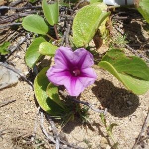 Ipomoea pes-caprae (C. Linnaeus) R. Brown