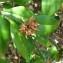 Marc Chouillou - Pedilanthus tithymaloides (L.) Poit.
