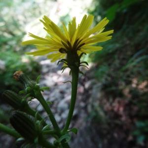 - Picris hieracioides subsp. umbellata (Schrank) Ces.