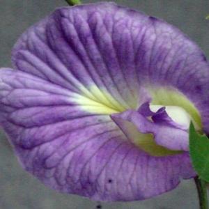 Clitoria ternatea L.
