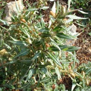 Photographie n°197496 du taxon Xanthium spinosum L. [1753]