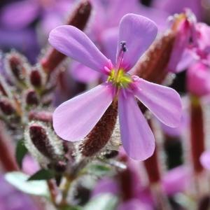 Photographie n°197564 du taxon Saponaria ocymoides L.