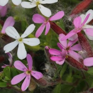 Photographie n°197596 du taxon Saponaria ocymoides L.