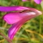 Marie  Portas - Gladiolus italicus Mill. [1768]