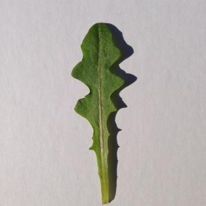 Photographie n°197747 du taxon Cichorium intybus L. [1753]
