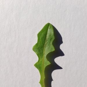 Photographie n°197750 du taxon Cichorium intybus L. [1753]