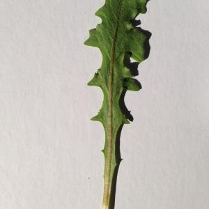 Photographie n°197758 du taxon Cichorium intybus L. [1753]