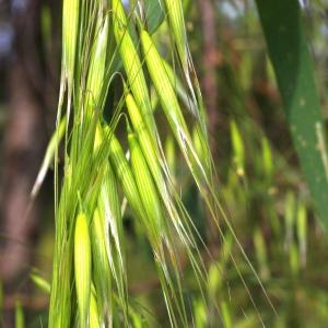 - Avena sativa subsp. fatua (L.) Thell. [1912]